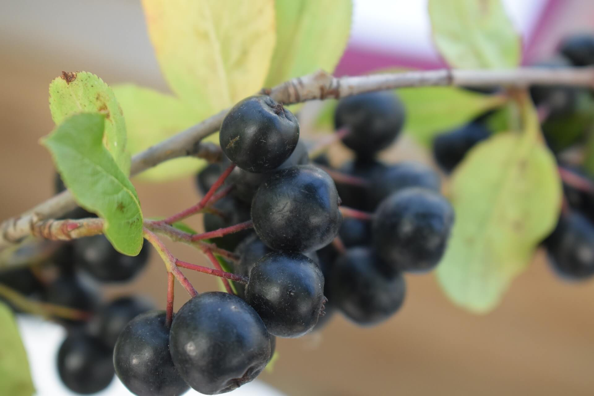 aronia berries healthy