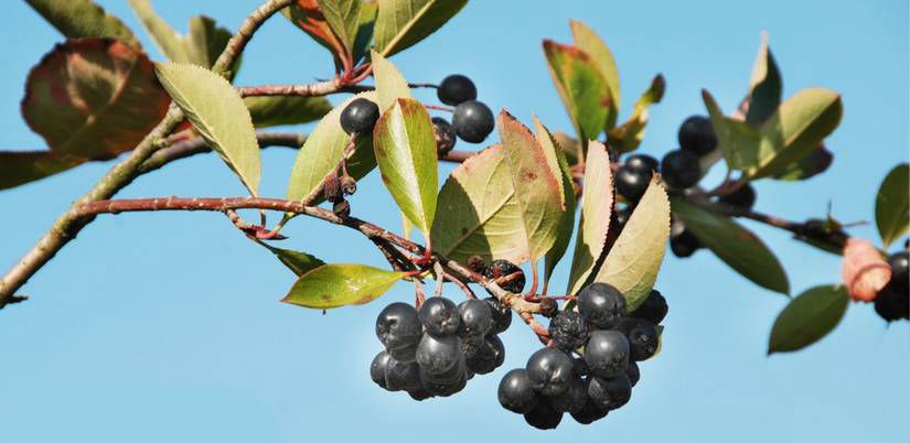 Aronia berries hanging from plant in front of blue sky