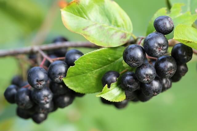 Ripe Aronia Berries on Aronia plant