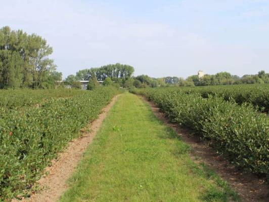 aronia field at plantation