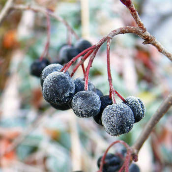Frozen Aronia berries hanging on plant while winter